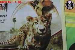 Busch Gardens Announces it's own Blog-Plus Huge Cheetah Hunt Update