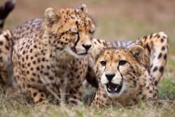 Cheetahs Coming to Tour at Busch Gardens Tampa