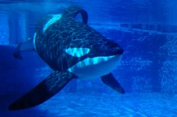 Scientists say that SeaWorld's Orca breeding decisions will halt research