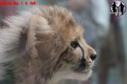 Baby Cheetah Gets a name, Testing on Cheetah Hunt continues